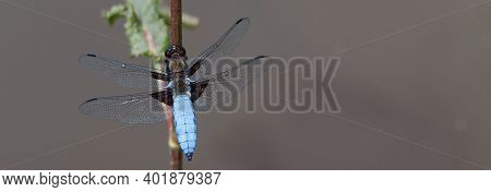 Beautiful Blue Dragonfly In The Nature Habitat. Macro Shots, Showing Of Eyes Dragonfly And Wings Det