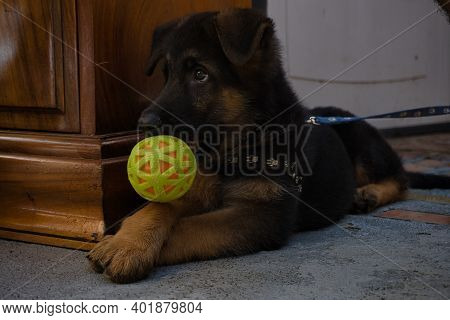 A German Shepard Puppy With A Ball In His Snout