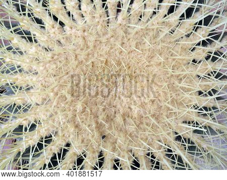 Beautiful Top View Of Bud And Thorns Of Cactus. Background Of Yellow Thorns Of Golden Barrel Cactus
