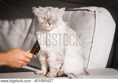Man Brushing Lovely Cute Grey Longhaired Cat. Fluffy Cat Loves Being Brushed