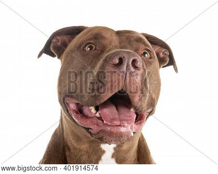 Pitbull Red Nose In Front Of White Background