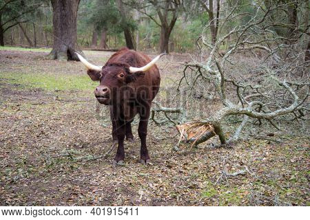 Red Devon Cow In The Pasture Mooing For His Supper.