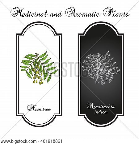 Neem Azadirachta Indica , Or Indian Lilac, Medicinal Plant. Hand Drawn Botanical Vector Illustration