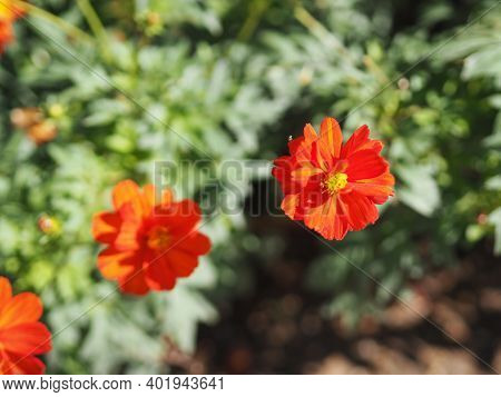 African Marigold, American Or Aztec Marigolds Flower Beautiful Orange Color Flowers Growing Blooming
