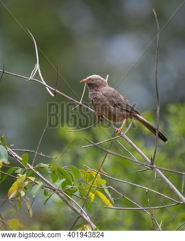 A Yellow-billed Babbler (turdoides Affinis), Perched On A Branch In The Wild.