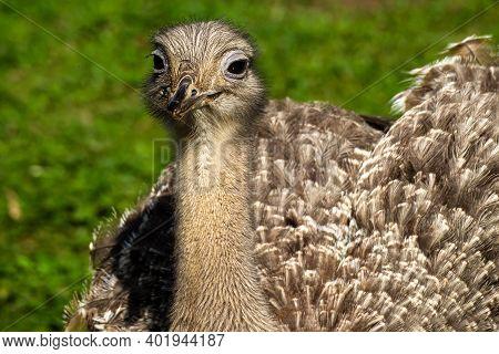Darwin's Rhea, Rhea Pennata Also Known As The Lesser Rhea. It Is A Large Flightless Bird, But The Sm