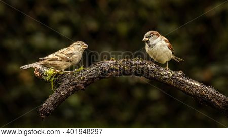 Couple Of Passer Domesticus On A Perch, Commonly Known As House Sparrows