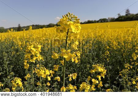 Beautiful Yellow Oilseed Rape, Brassica Napus Flowers. Golden Blossoming Field And Fluffy Blue Sky O