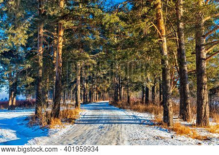 Road In A Pine Forest On A Frosty And Sunny Winter Day
