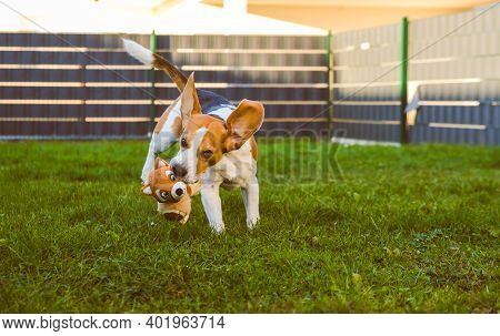 A Picture Of A Fast Beagle Hound Running On Grass Fetching A Dog Toy. Canine Theme