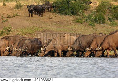 The African Buffalo Or Cape Buffalo (syncerus Caffer) Herd Of Buffalo On The Shore Of Waterholes.typ