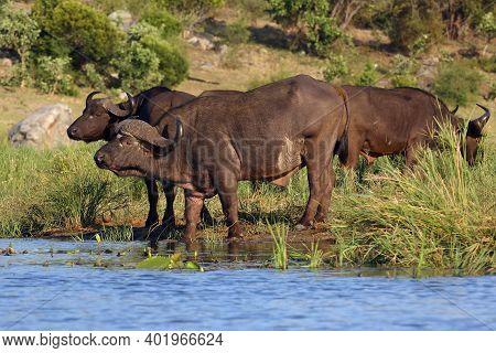 The African Buffalo Or Cape Buffalo (syncerus Caffer) Herd Of Buffalo On The Shore Of Waterholes