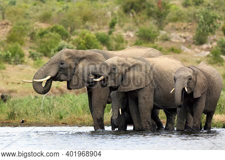 The African Bush Elephant (loxodonta Africana) Group Of Elephants Drinking From A Small Lagoon