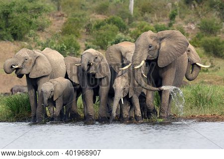 The African Bush Elephant (loxodonta Africana) Group Of Elephants Drinking From A Small Lagoon. Drin