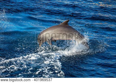 Jumping Dolphin In Blue Water . Fish Jumping With Splashes