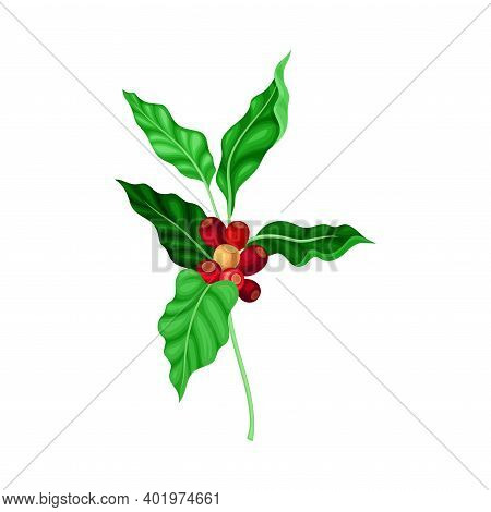Coffee Plant Branch With Juiced Edible Fruits Containing Caffeine Vector Illustration