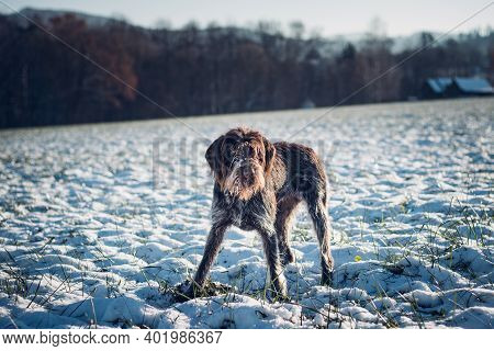 Cesky Fousek Stands On A Pit And Waits For A Vole Or Mouse To Peek Out. Dog Hunting In The Wild. Cze