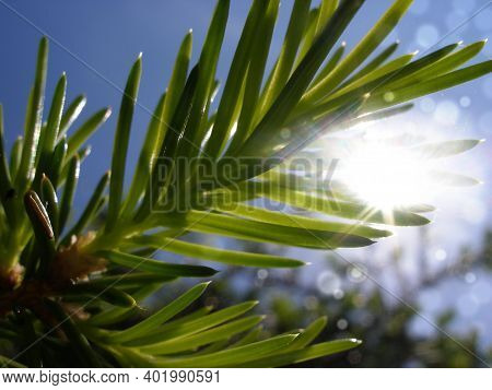 Closeup Abstract Image Of Sun Shining On Fir Tree Branch With Green Needles. Tranquil Spring Backgro