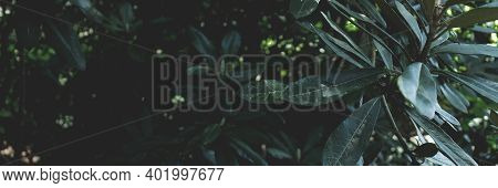 Dark Green Rhododendron Leaves Texture. Toned Abstact Header.