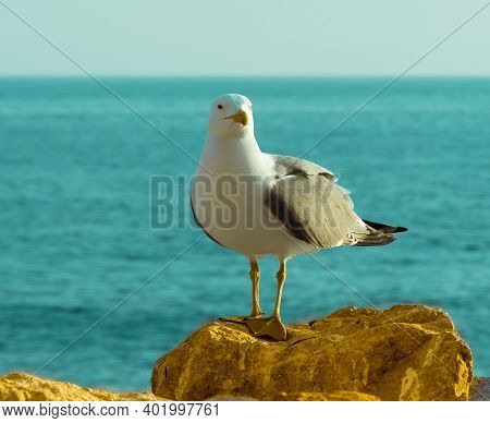 Standing Seagull - A Close-up Front Side View Of A Seagull Standing On A Seaside Rock With Sea In Th