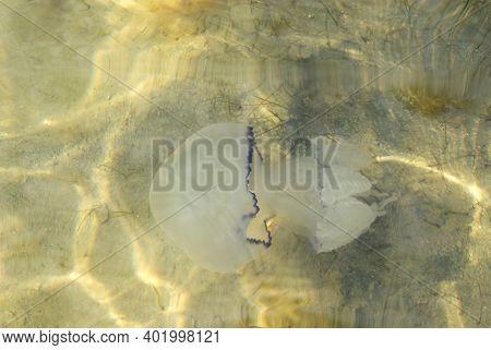 Jellyfish Swims In The Sea Of Azov. Close-up