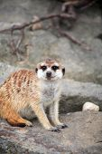 Closeup of alert meerkat on gray stone background poster