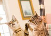 Orange and brown bengal kitten cat looking at reflection in mirror poster