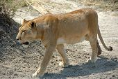 Lioness in the Seregeti National Park Tanzania poster