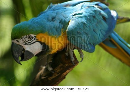 Golden Macaw