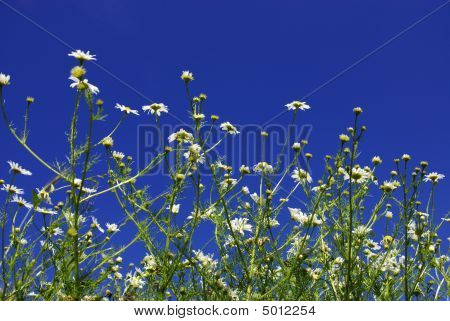 Camomiles Flowers