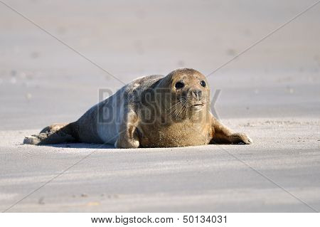 Harbor seal laying on the sandy beach poster