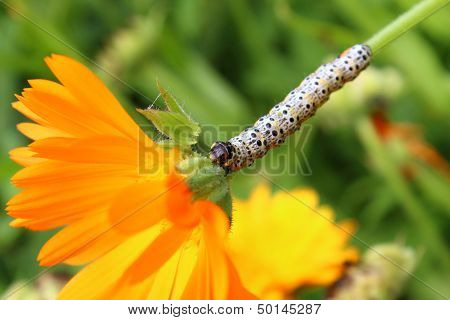 Caterpillar And Calendula