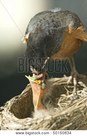 Mother Robin Feeding Her Baby