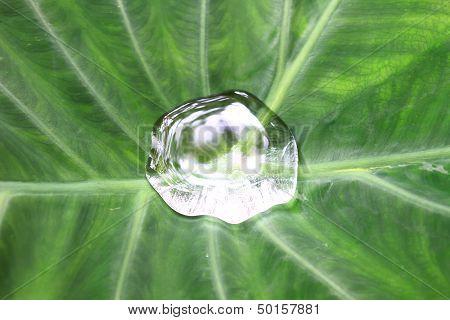 Drop On Colocasia Leaf
