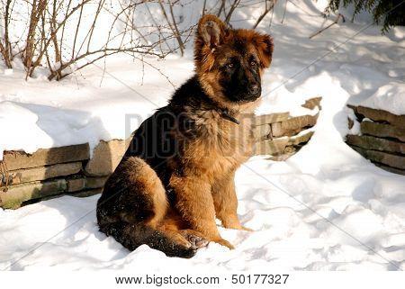 German Shepherd Puppy On The Snow