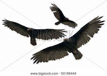 Vultures Isolated on White