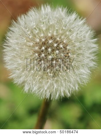Close-up of a seeding dandelion