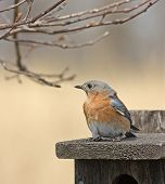 Eastern bluebird perched on a bird house poster