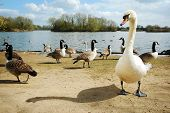Swan and Canada geese by a lake poster