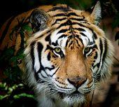 siberian tiger taken at big cat rescue poster