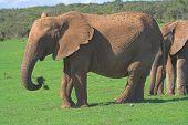 female african elephant feeding on grass poster