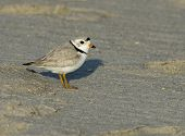 New Jersey endangered Piping Plover at Cape May in April poster