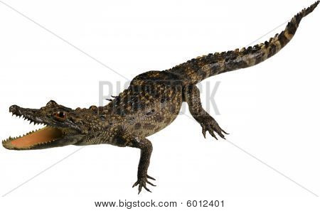 Little hungry crocodile isolated on white background poster