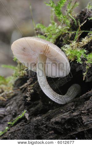 Fungi on rotting wood - Pluteus thomsonii