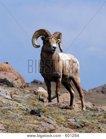 Bighorn Ram In The Rockies