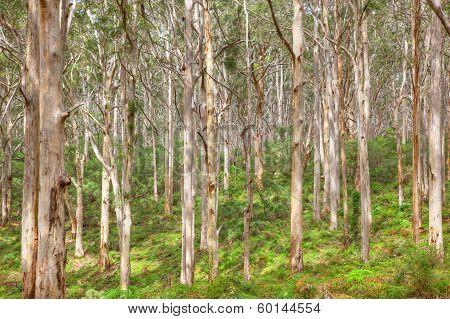 Boranup Karee Forest