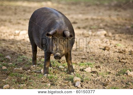 Iberian pig in the Valle de los Pedroches Cordoba Spain