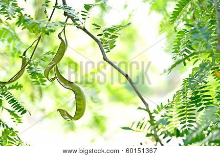brightly backlit Gleditsia foliage and seed pods poster