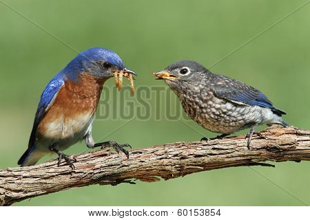 Male Eastern Bluebird With Baby