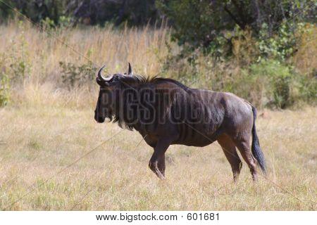 Wildlife Wildebeast